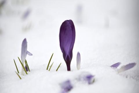 Germogli sotto la neve
